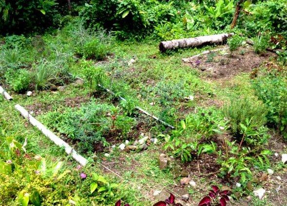 organic-tropical-herb-garden-in-May